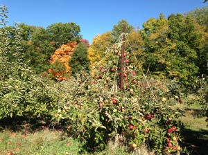 apple tree against fall colors