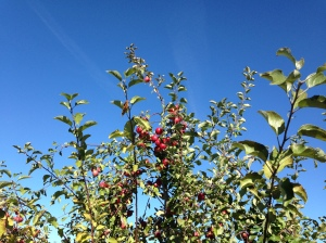top of apple tree